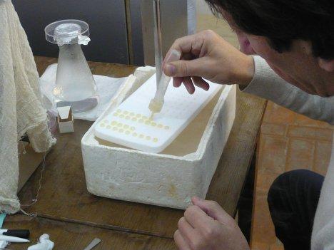 Процесс разбавления и подготовки семени козлов для замораживания и последующего искусственного осеменения.