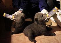 Проект IFAW по реабилитации медвежат-сирот