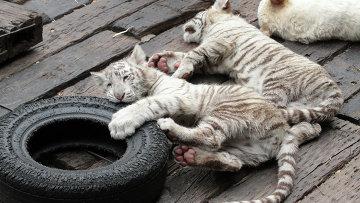 Тигрята в южно-китайском сафари-парке Chimelong