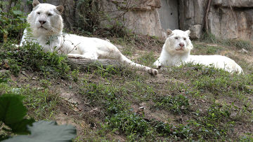 Белые тигры в южно-китайском сафари-парке Chimelong