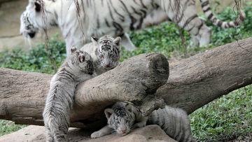Белые тигры и тигрята южно-китайского сафари-парка Chimelong