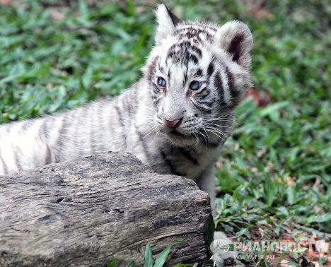 Белый тигр в южно-китайском сафари-парке Chimelong