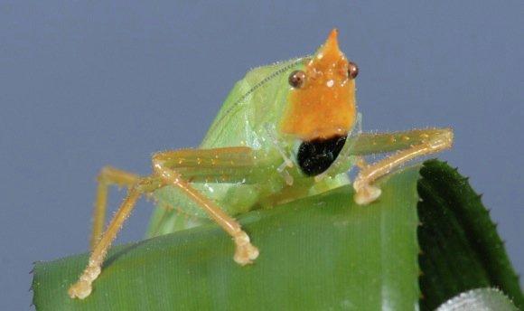 Кузнечик Copiphora gorgonensis