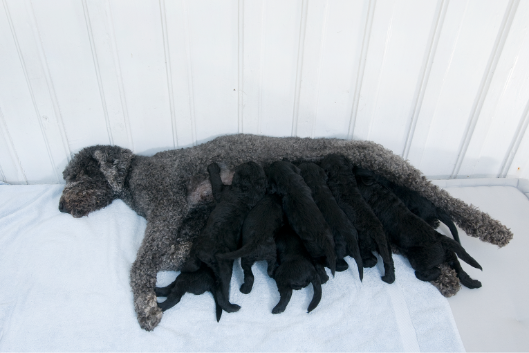 Собака королевской семьи Норвегии Милли Какао родила щенков