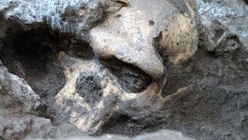 Череп, найденный в Дманиси, отличается чертами, которые не позволяют его однозначно отнести ни к одному из известных видов