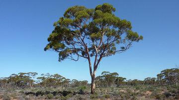австралийский эвкалипт