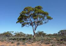 Эвкалипт в Австралии