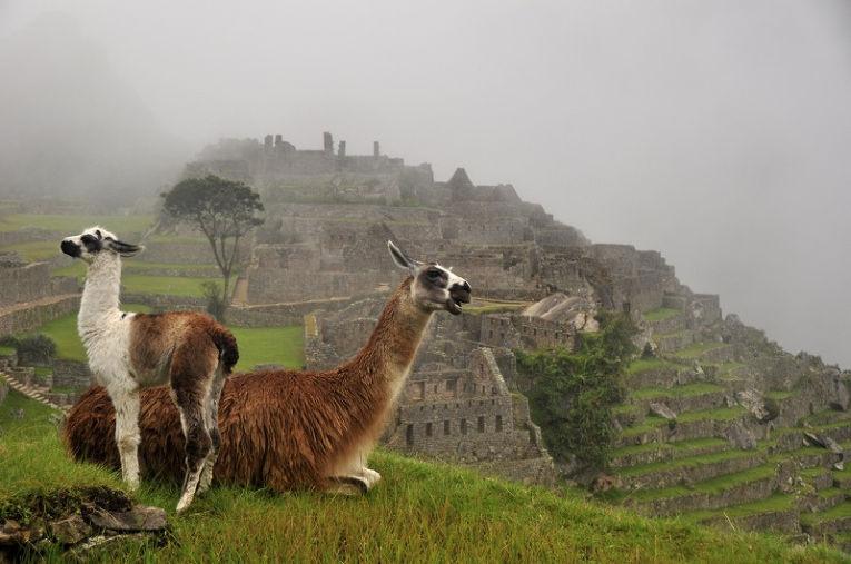 Ламы в Мачу-Пикчу