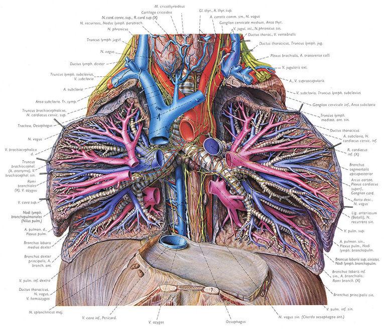 Страница из анатомического атласа Пернкопфа