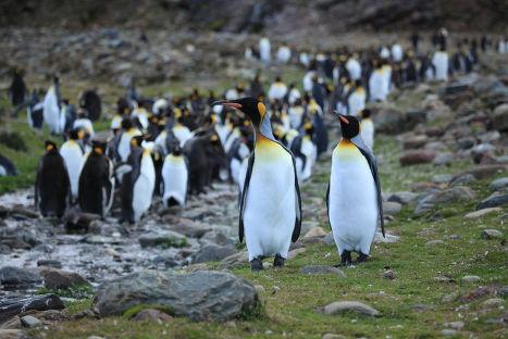 Пингвины на острове Южная Георгия
