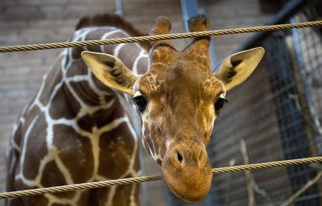 Жираф Мариус в Копенгагенском зоопарке