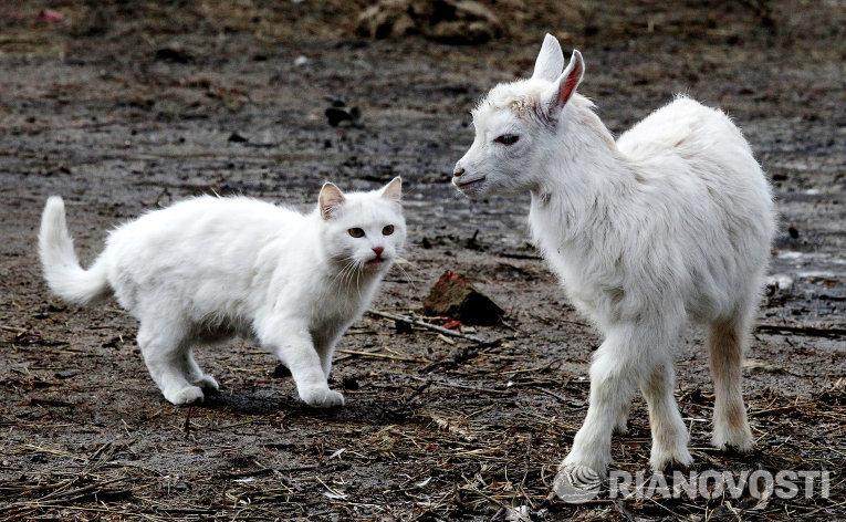 """Кошка Ночка и коза Мека в сельском зоопарке """"Хутор Прохладный"""""""