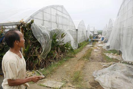 Местный житель проверяет парники, где растет манго, во время сильного ветра на острове Миякоджима