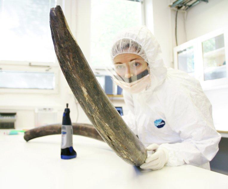 Одна из авторов статьи извлекает ДНК мамонта из костей