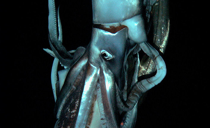 Изображение гигантского кальмара, сделанное японскими учеными