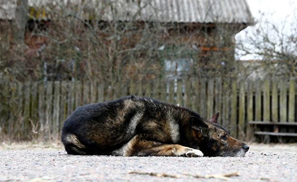 Собака возле дома местного жителя зоны отчуждения Чернобыльской АЭС