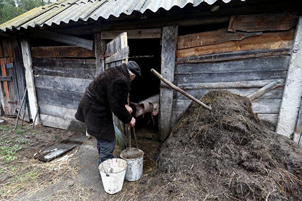 Житель зоны отчуждения Чернобыльской АЭС в свинарнике возле своего дом