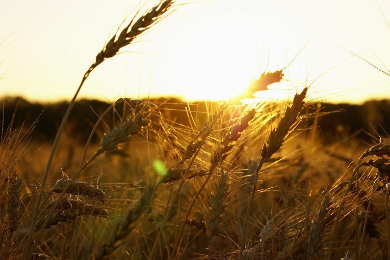 Пшеница в Канзасе