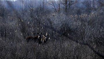 Лоси рядом с деревней Красноселье на территории Полесского радиационно-экологического заповедника