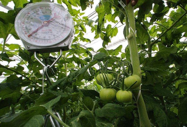 Выращивание овощей в тепличном хозяйстве Калининградской области