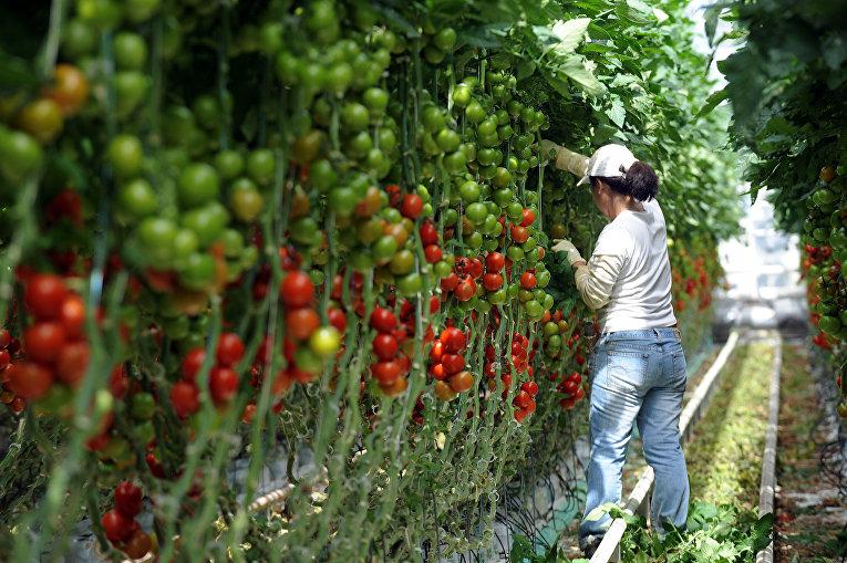 Женщина собирает томаты на ферме в Морделе, Франция