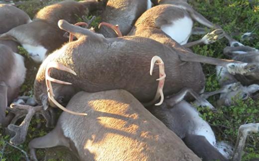 Молния погубила стадо оленей