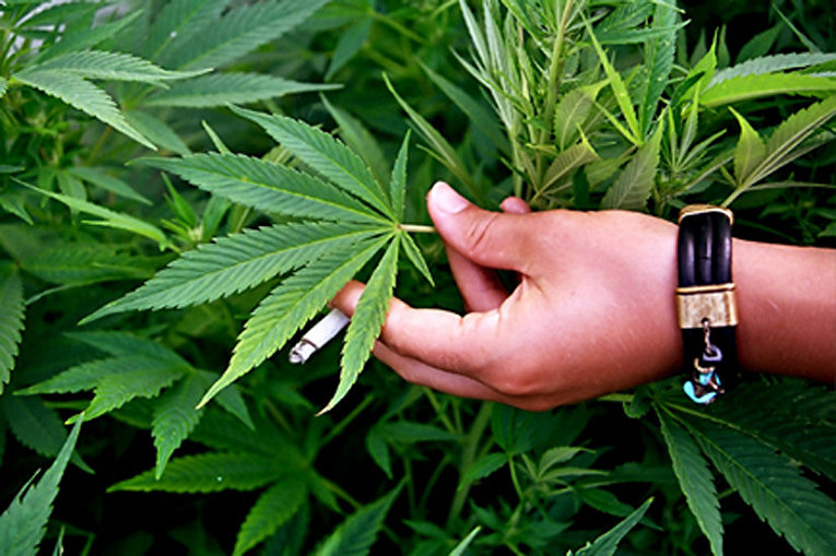 Можно ли курить корень марихуаны лечебная конопля в россии