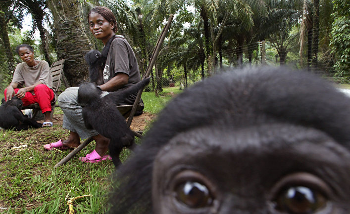 Детеныши бонобо в заповеднике «Лола Я Бонобо» в Демократической республике Конго