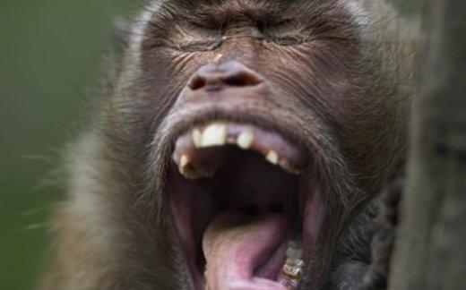 Как бы звучала речь обезьян?