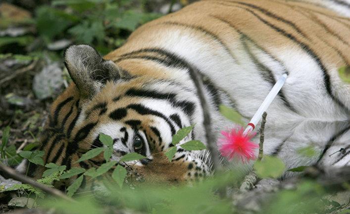 Уссурийская тигрица