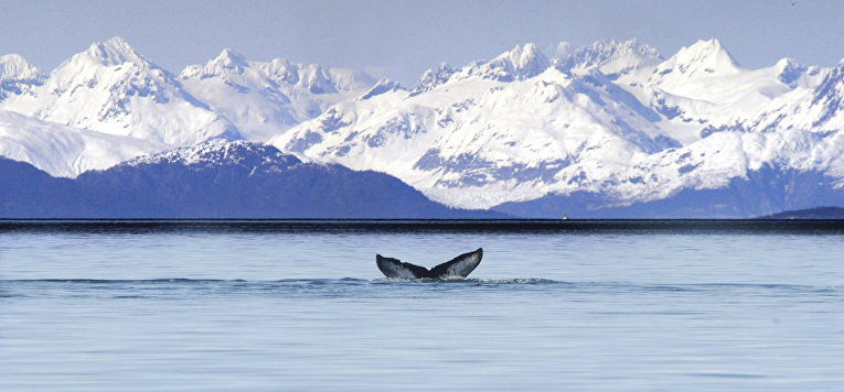 Хвост горбатого кита, Аляска