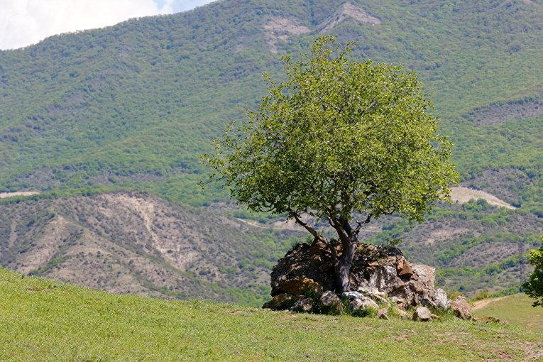 Дерево в Джвари, Грузия