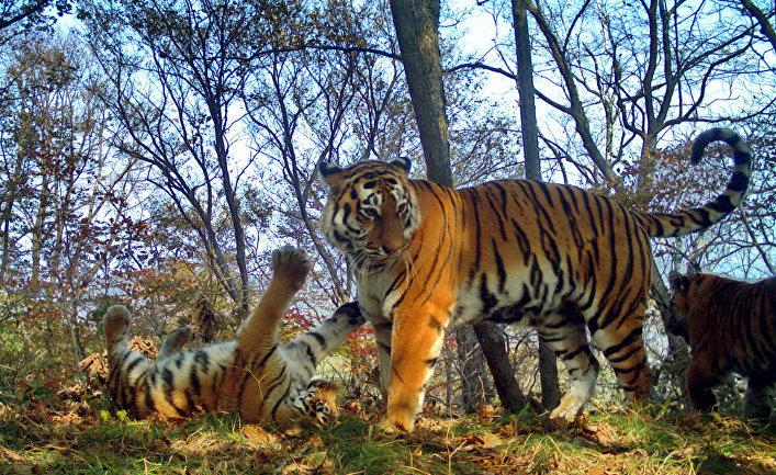 "Тигриное семейство устроило фотосессию на ""Земле леопарда"""