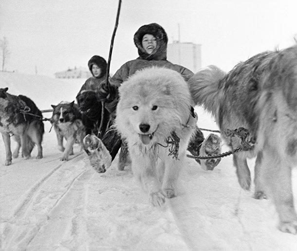 Юный представитель северной народности саами управляет собачьей упряжкой