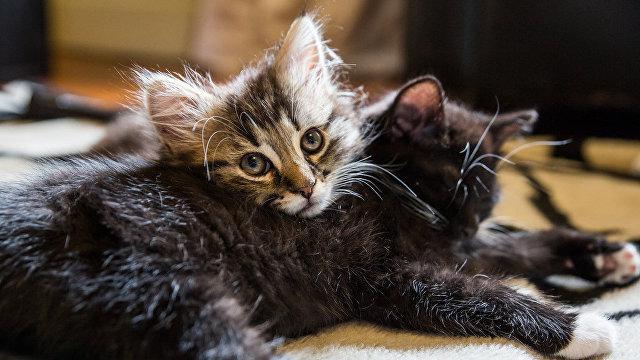 Yahoo News Japan (Япония): в России есть замечательная кошачья порода  сибирская