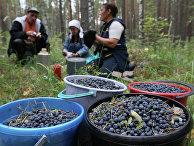 Сбор черники в Омской области
