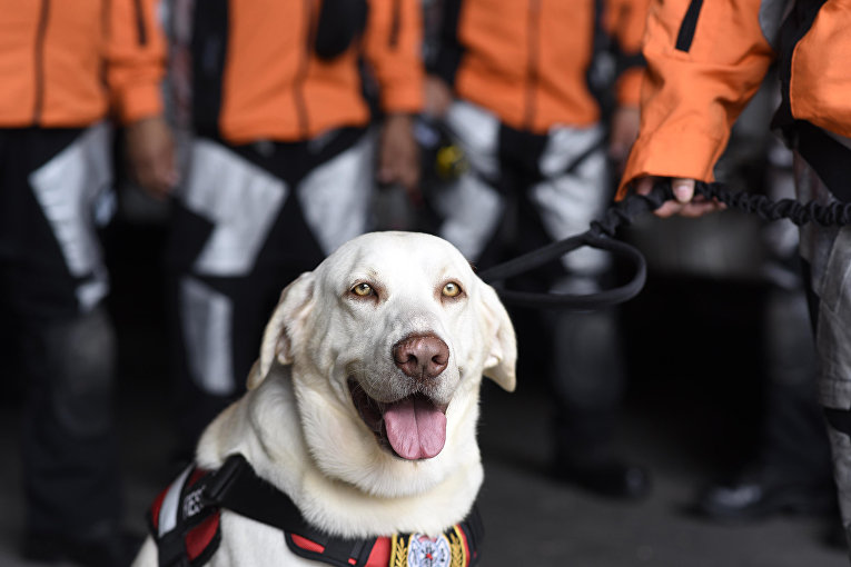 Драго, пес-спасатель, вместе с группой из 47 человек из числа членов Поисково-спасательной команды Гватемалы