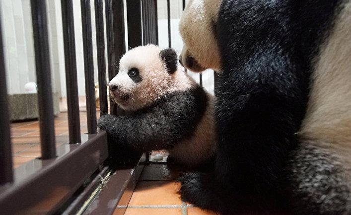 Детёныш панды Сян Сян, родившийся в токийском зоопарке Уэно