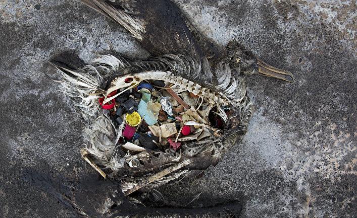 Черноногий альбатросный цыпленок, погибший от голода в результате скопления большого количества пластика в желудке