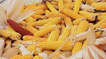 Сбор урожая кукурузы в Кахетии