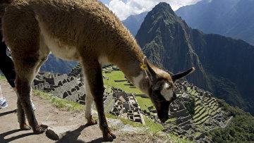 Лама пасется в Мачу-Пикчу