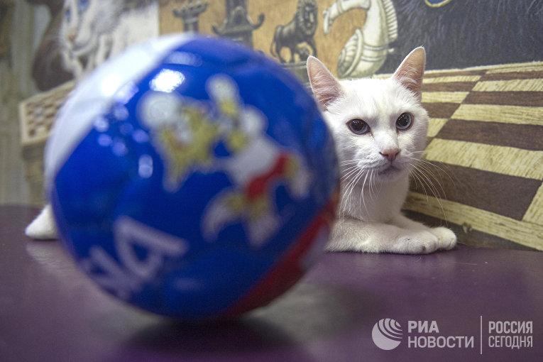Эрмитажный кот Ахилл-оракул чемпионата мира по футболу 2018