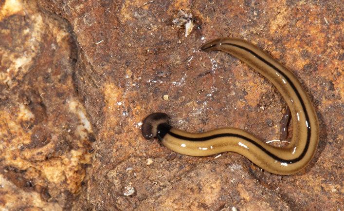 Червь вида Bipalium vagum