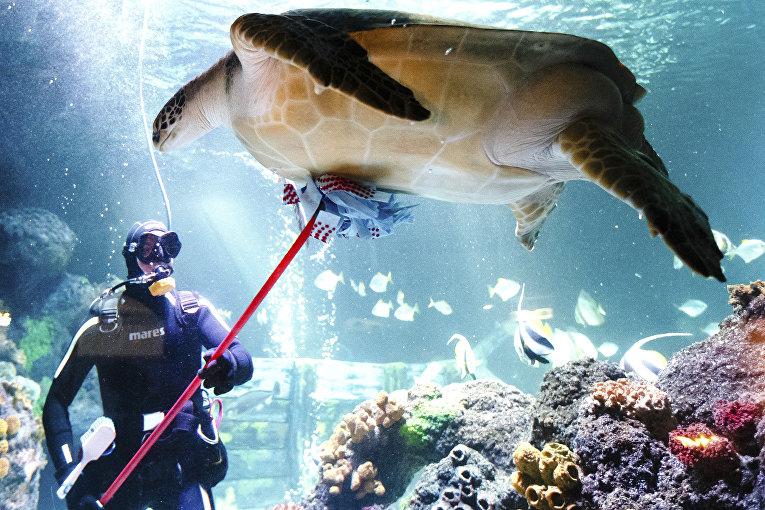 Работник центра морских животных чистит черепаху по кличке «Спиди» в Германии