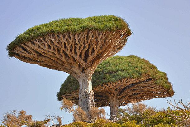 Сокотрово драконово дерево