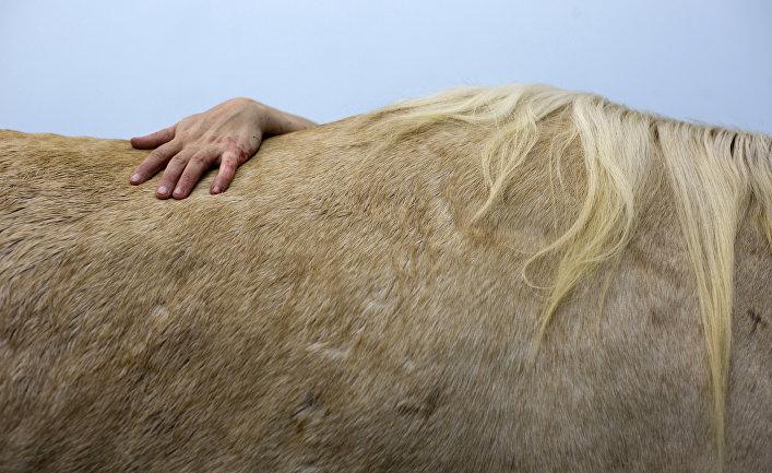Ветеринар оперирует лошадь в школе Еврейского университета ветеринарной медицины