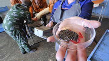 Получение оплодотворенной икры осетров на рыбоводном заводе