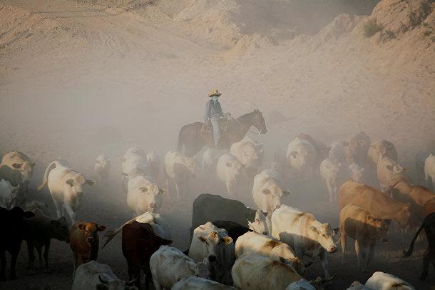 Ковбой ведет стадо крупного рогатого скота в долине Хуарес, Мексика