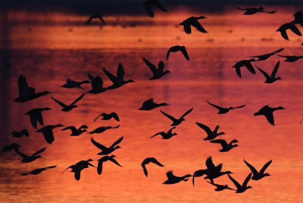 Птицы в небе над Штраусфуртом в Германии