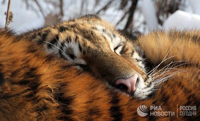 Амурский тигр в Приморье